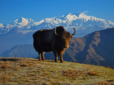 Photogenic Kanchenjunga with yak